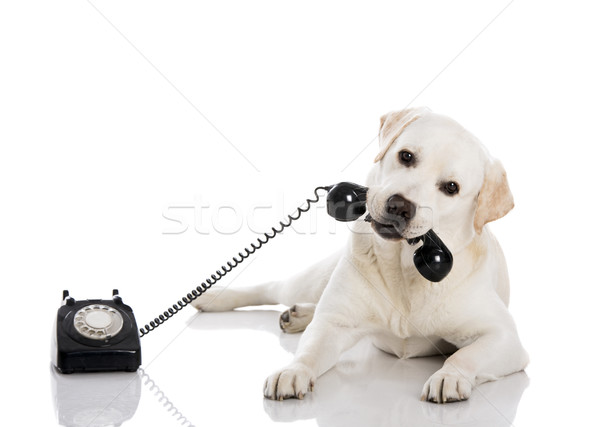 Labrador hívás portré labrador retriever tart kutya Stock fotó © iko