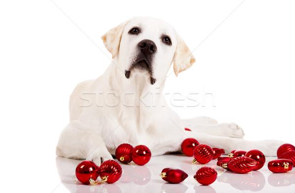 Stock photo: Christmas Dog