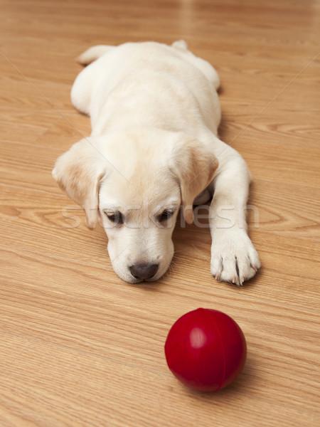 Labrador kutyakölyök játszik labrador retriever padló piros Stock fotó © iko
