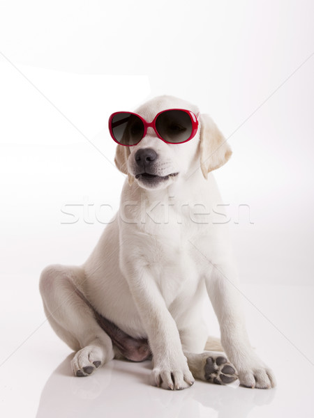 Puppy with sunglasses Stock photo © iko