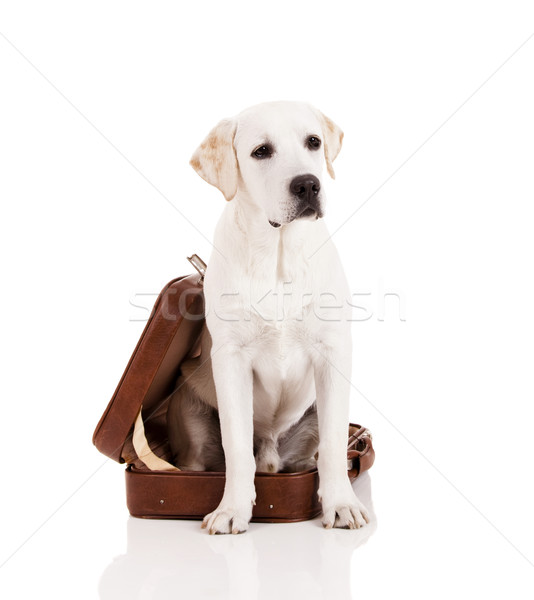 Kutya bőrönd gyönyörű kutyafajta labrador retriever ül Stock fotó © iko