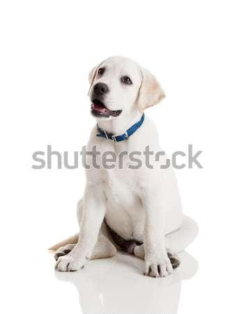 Labrador retriever chiot belle crème isolé blanche Photo stock © iko