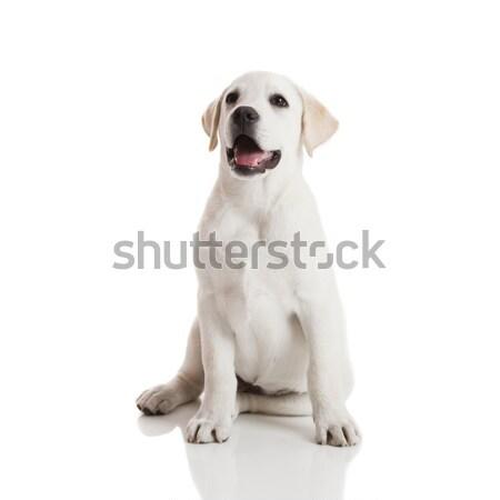 Labrador retriever kutyakölyök gyönyörű krém izolált fehér Stock fotó © iko