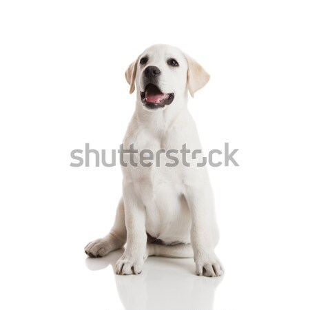 Labrador retriever cachorro belo creme isolado branco Foto stock © iko