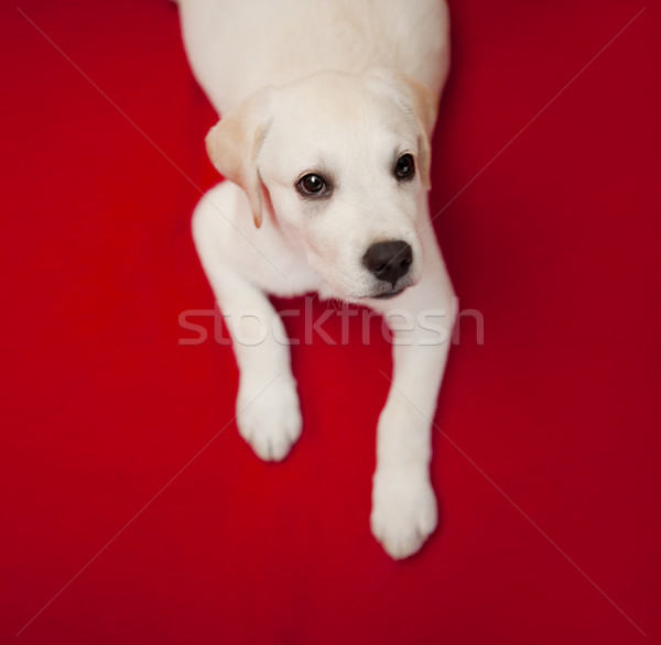 Labrador puppy top labrador retriever Rood Stockfoto © iko