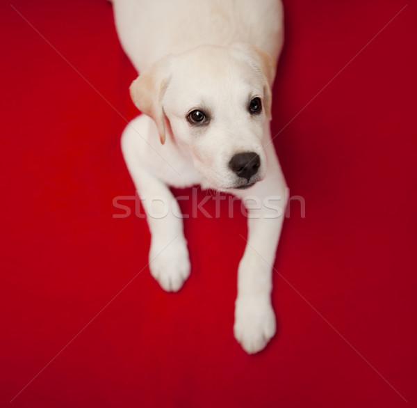 Labrador kutyakölyök felső kilátás labrador retriever piros Stock fotó © iko