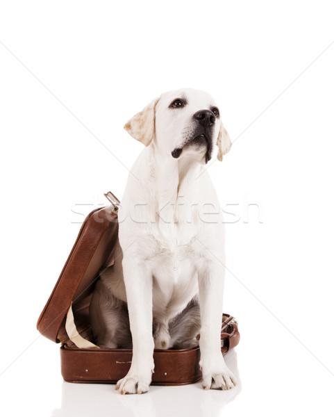 собака чемодан красивой Лабрадор ретривер сидят Сток-фото © iko