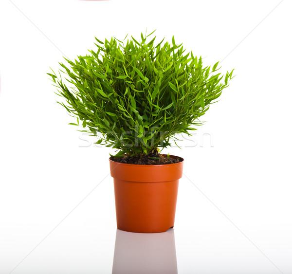 Verde planta bambú aislado blanco árbol Foto stock © iko