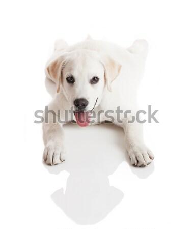 Stock foto: Labrador · Baby · schönen · Sahne · Welpen