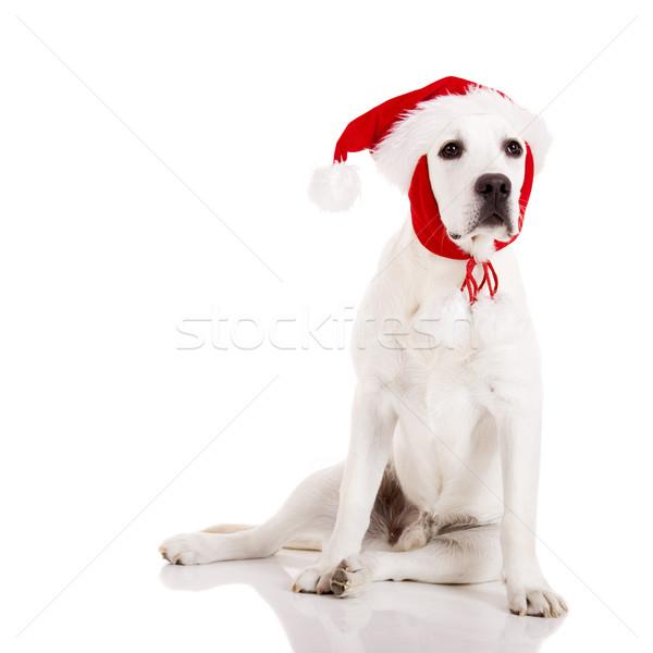 Karácsony kutya portré labrador retriever mikulás kalap Stock fotó © iko