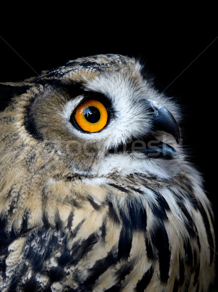 Beautiful Owl (taked at 1600 iso) Stock photo © iko