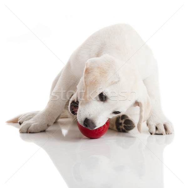 Labrador Puppy playing Stock photo © iko