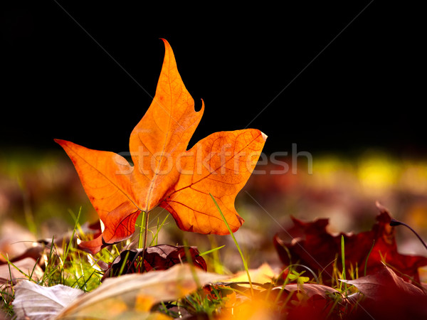 Close-up of  a beautiful autumn leaf on the floor Stock photo © iko