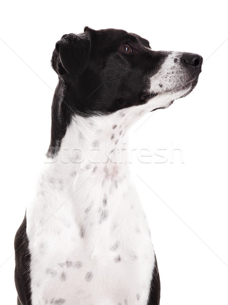 Dog portrait Stock photo © iko