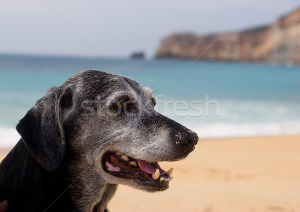 Old Dog Stock photo © iko