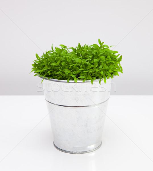 Maydanoz büyüyen yukarı Metal vazo yalıtılmış Stok fotoğraf © iko