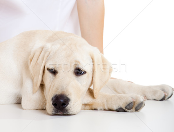 Sick Dog Stock photo © iko