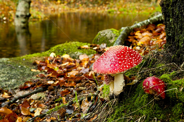 Toxique champignons photos nature feuille Photo stock © iko