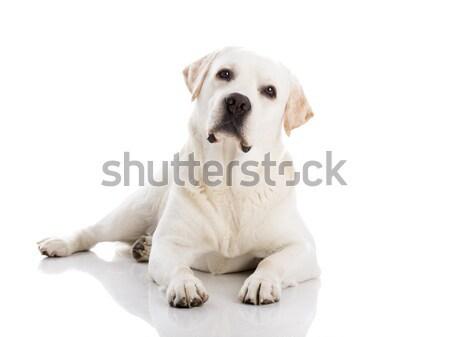 Labrador cão piso belo labrador retriever Foto stock © iko