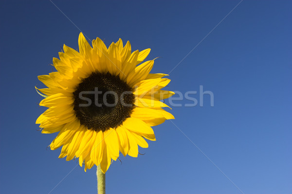 Photo stock: Tournesol · belle · ciel · bleu · printemps · résumé · nature