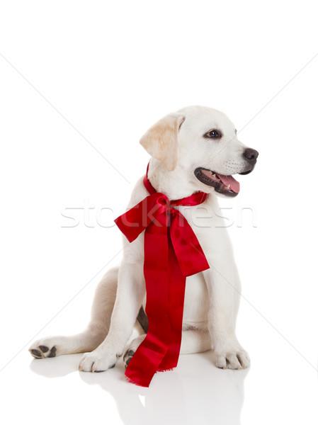 Stock fotó: Labrador · retriever · kutyakölyök · imádnivaló · visel · piros · csipke