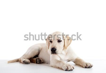 Foto stock: Cute · labrador · perro · estudio · retrato · hermosa
