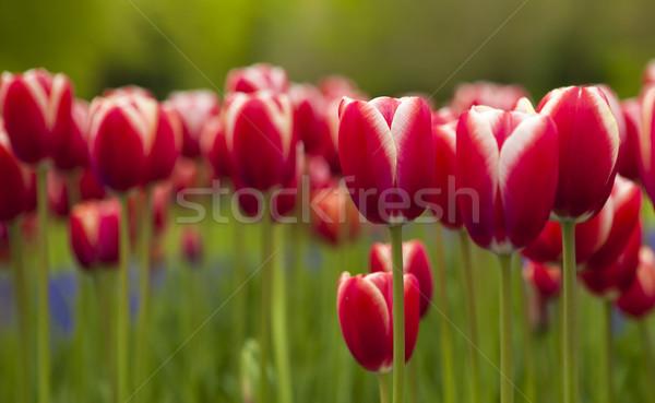 Színes tulipánok kép gyönyörű sekély mély Stock fotó © iko