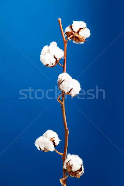 Cotton plant Stock photo © iko
