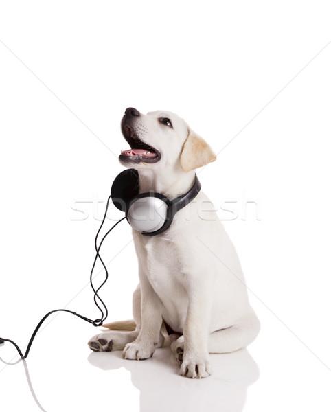 Kutya zenét hallgat gyönyörű labrador retriever fejhallgató izolált Stock fotó © iko