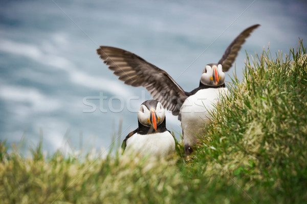 Atlantic Puffins Stock photo © iko