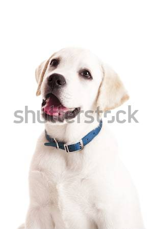 Labrador chiot belle portrait labrador retriever bleu Photo stock © iko