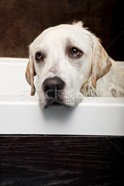Wet Dog Stock photo © iko