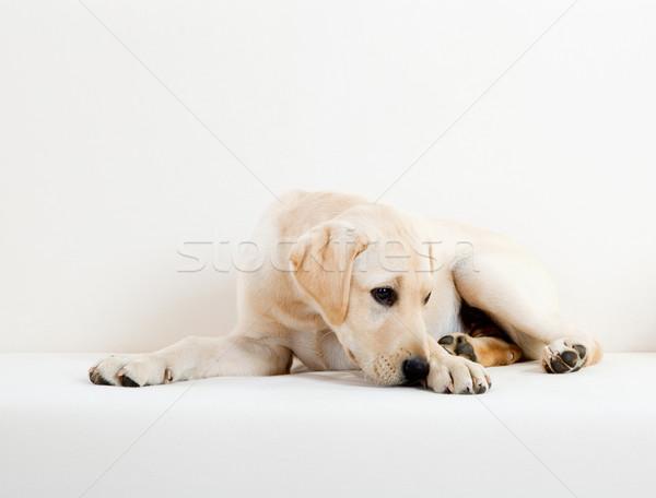 Cute labrador hond studio portret mooie Stockfoto © iko