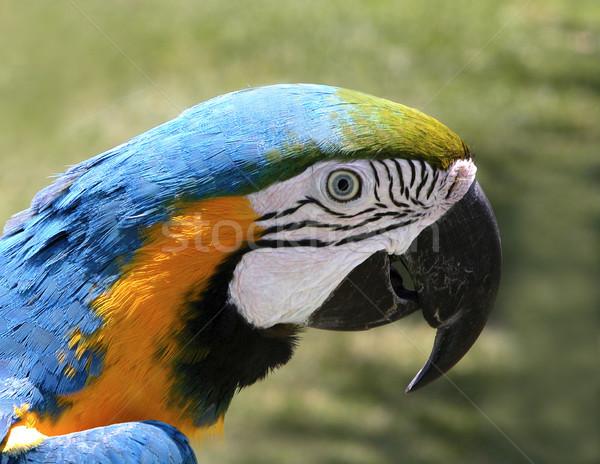 Parrot  Stock photo © iko