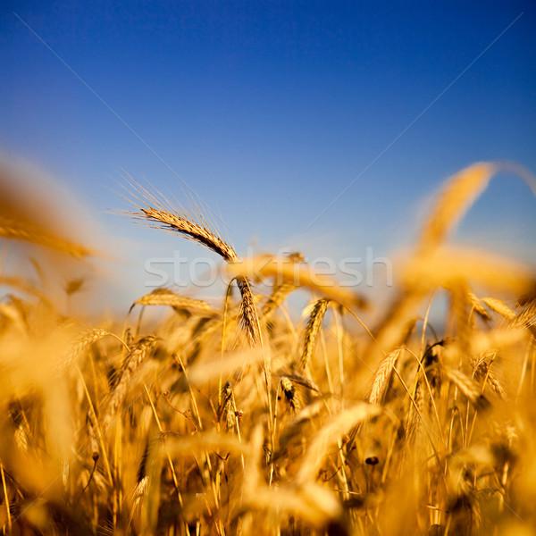 Campo de trigo hermosa paisaje imagen nubes salud Foto stock © iko