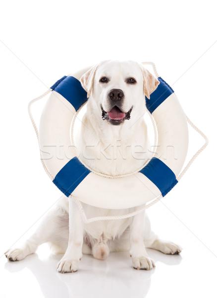 Labrador dog with a sailor buoy Stock photo © iko