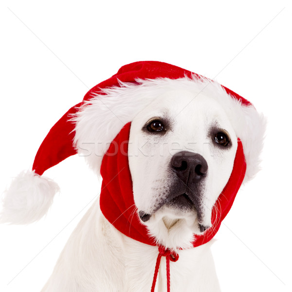 Christmas Dog Stock photo © iko