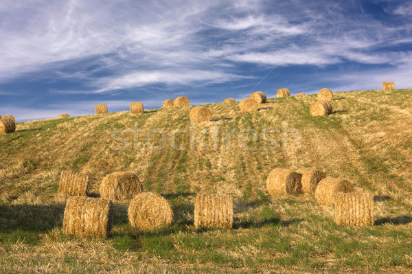 Hay bales standing ready to be collected Stock photo © iko