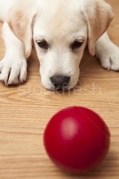 Stock fotó: Labrador · kutyakölyök · játszik · labrador · retriever · padló · piros