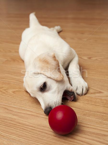 Stock photo: Labrador Puppy playing