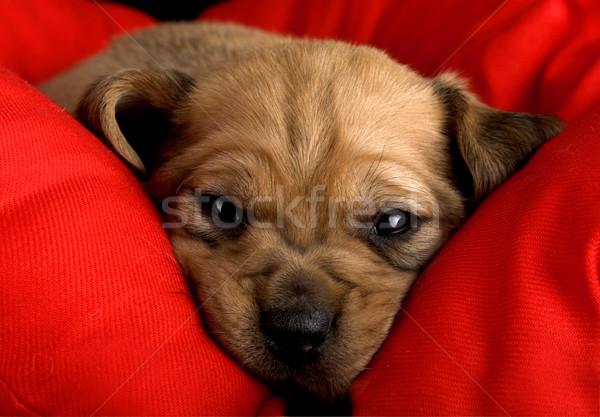 Verdriet puppy cute snuit Rood kussen Stockfoto © iko