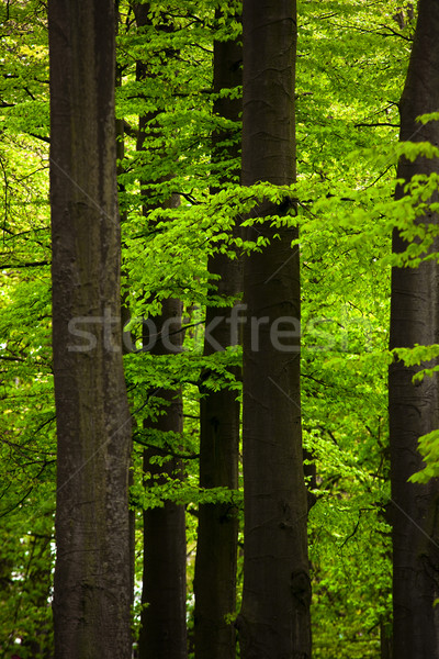 Green Forest Stock photo © iko