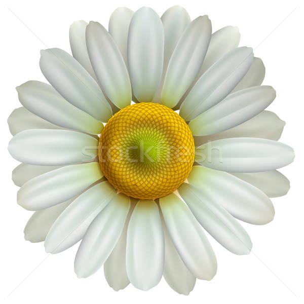 Chamomile flower, vector Eps10 illustration Stock photo © ikopylov