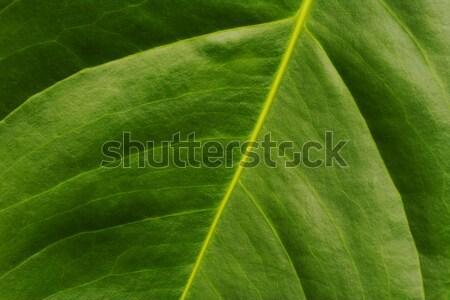 Leaf of Anthurium Stock photo © ildi