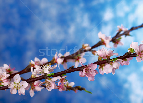 Peach Branch in Full Bloom Stock photo © ildi