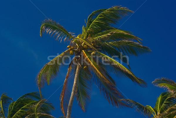Kókuszpálma levelek kókuszdió görbület szél kék ég Stock fotó © ildi