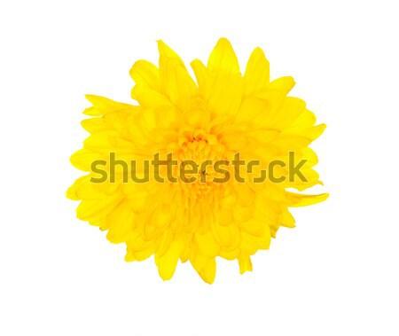 Amarillo crisantemo muchos pétalos aislado flor Foto stock © ildi