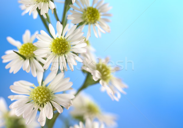 Kicsi fehér virág makró fehér virágok áll kék Stock fotó © ildi
