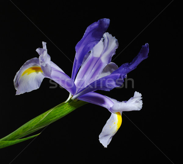 Blue Iris on Black Stock photo © ildi