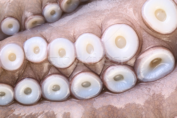 Suction Cups on Tentacles of Octopus Stock photo © ildi